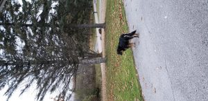Dog on road looking at patch of grass and trees.