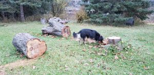 Black and brown dog outside sniffing large logs.