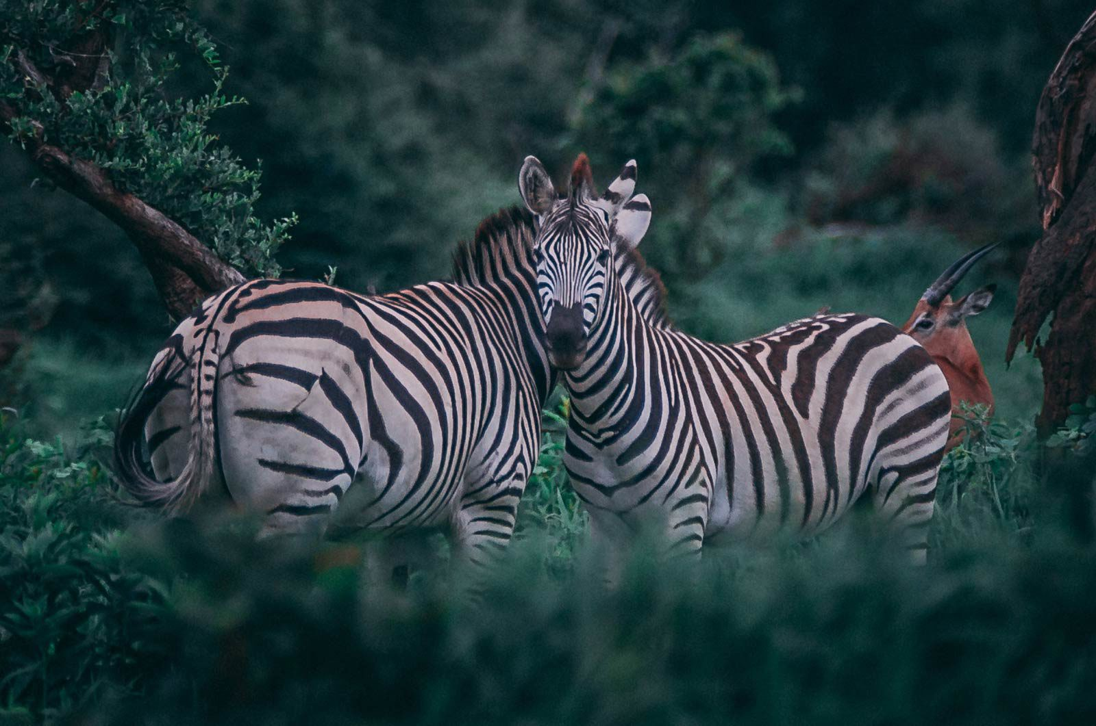 Zebras standing side by side in lush forest, one looking at camera.