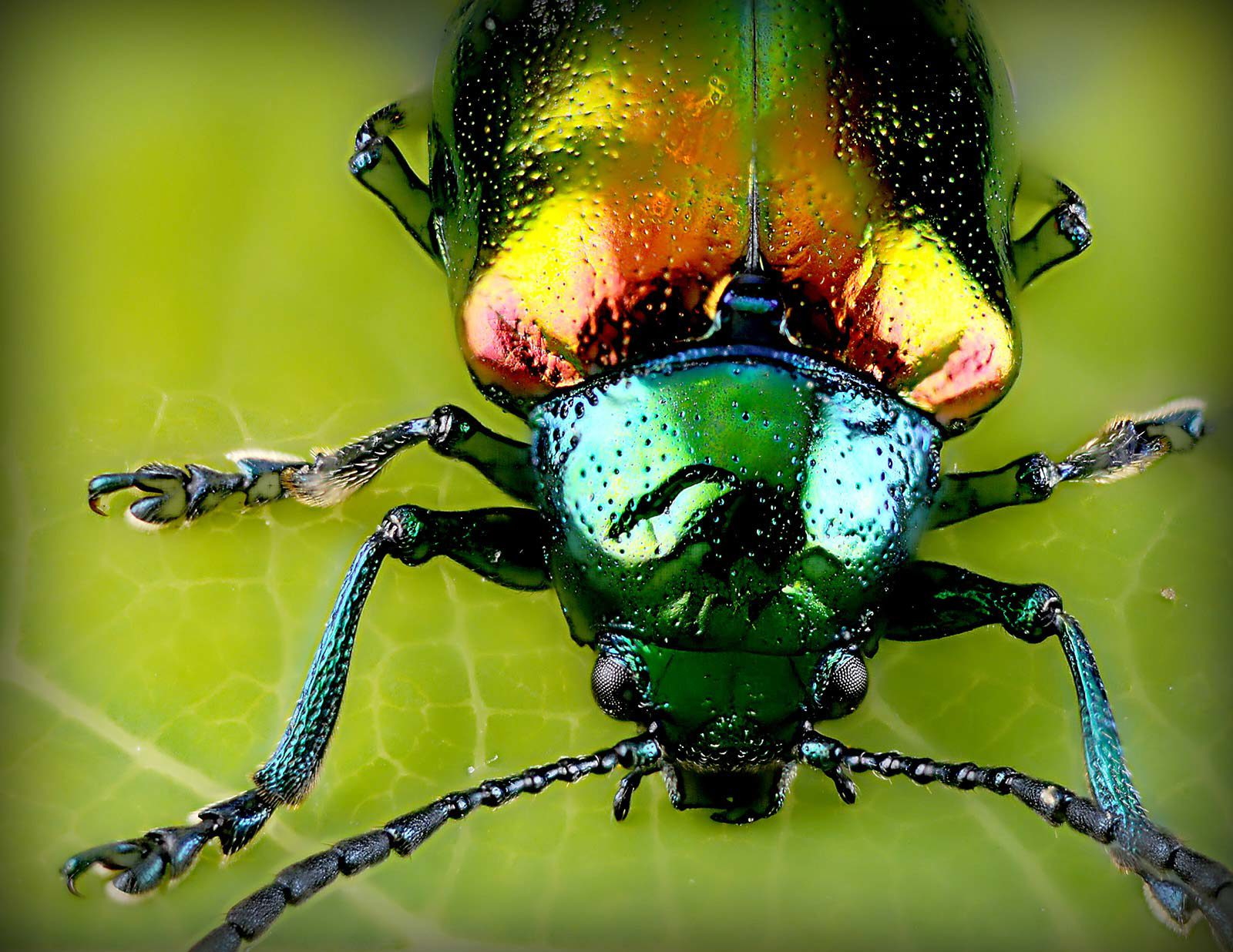 Close-up of colourful beetle on green leaf.