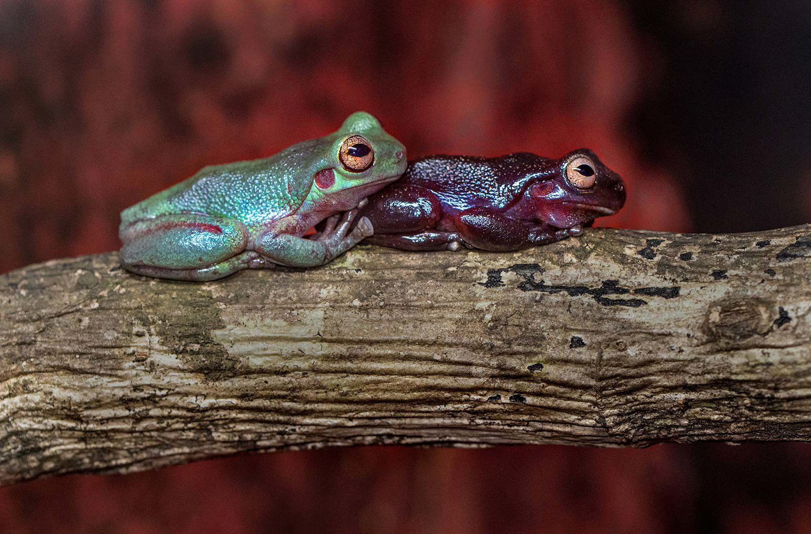 Green frog sitting on branch resting head on back red frog.