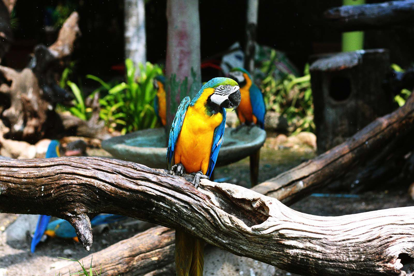 Parrot sitting on log in enclosure with other parrots in background.