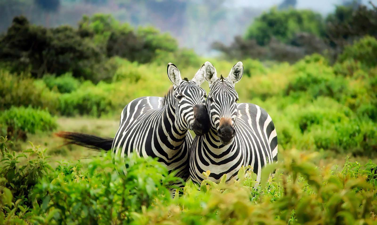 Two zebras standing close together in green vegetation.