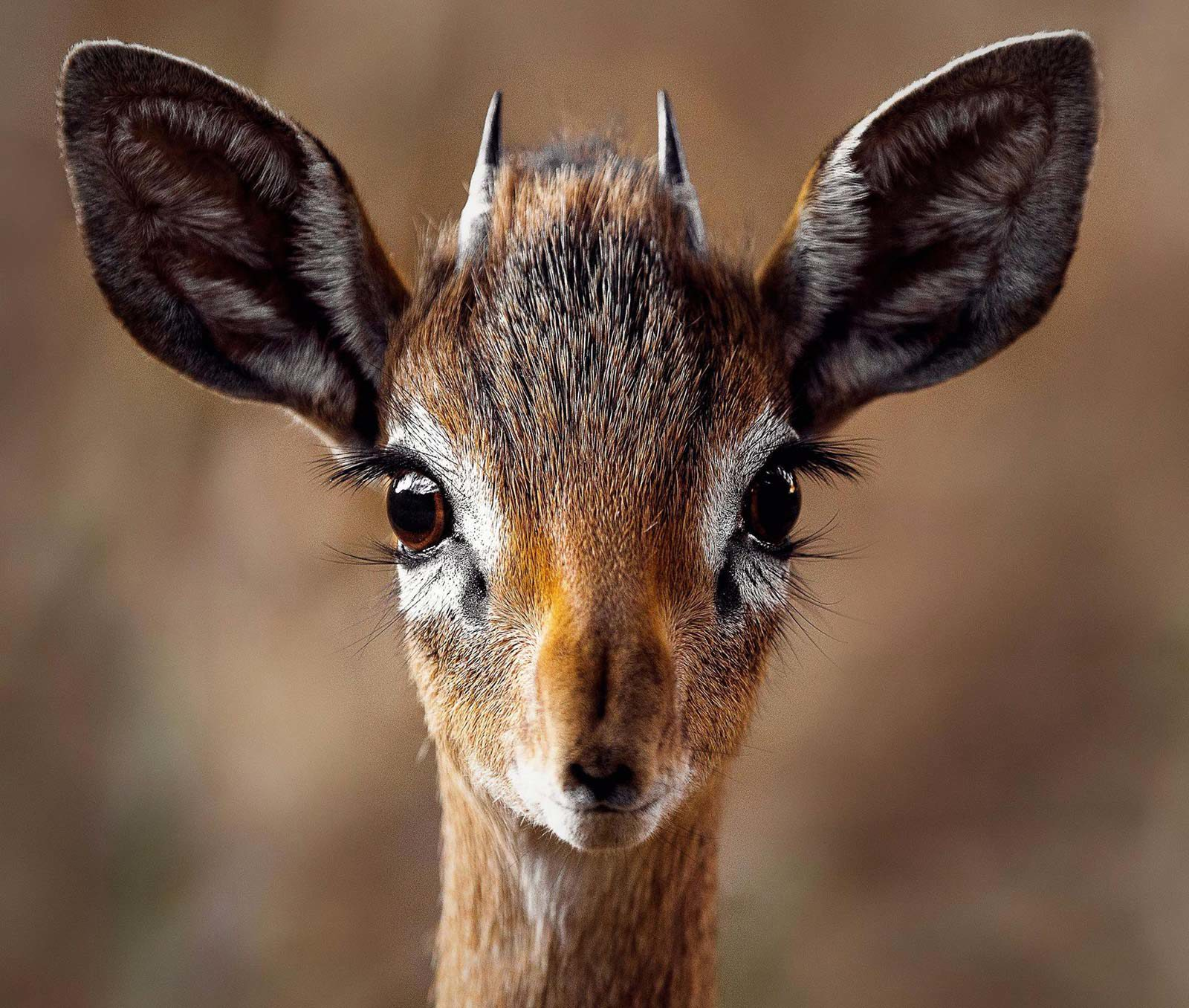 Small dik-dik looking straight at camera.