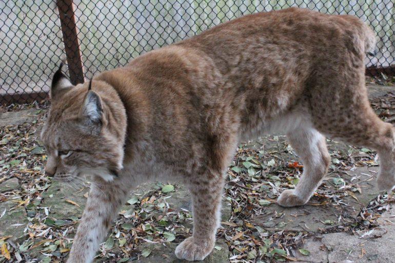 Siberian Lynx walking next to fence.